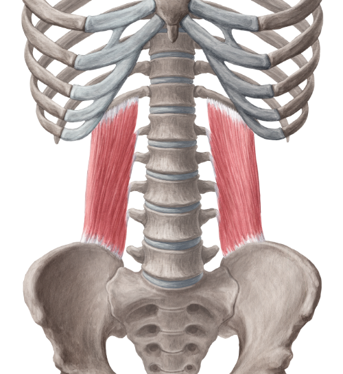 quadratus_lumborum_muscle