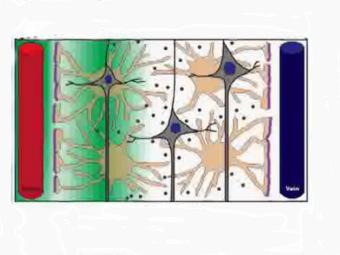 obnaruzhena-novaya-sistema-ochistki-mozga