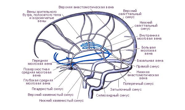venoznye-sinusy